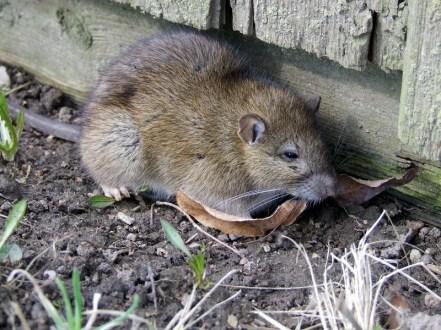 Norwegian Rat in New Zealand