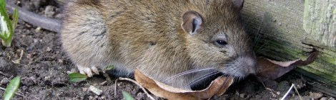 Norwegian Rat in New Zealand