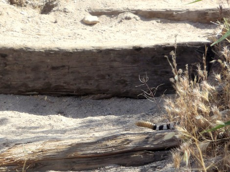 Diamondback rattlesnake, Catalina State Park, Arizona