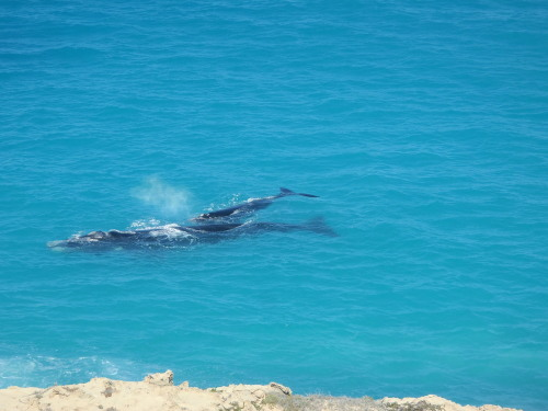 Souther Right Whales, Great Australian Bight