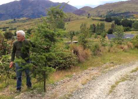 cutting down a Christmas tree in New Zealand