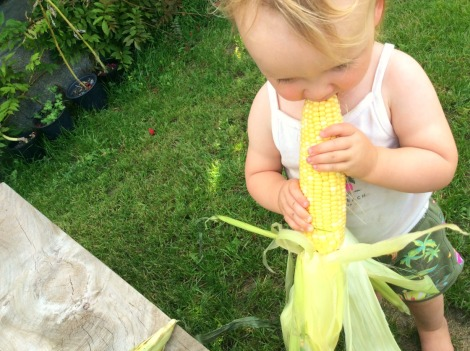Midwest corn, farm-to-table