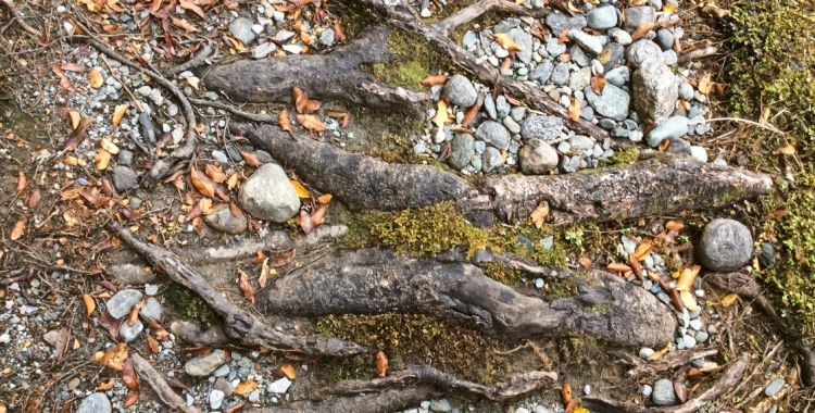 Tree roots underfoot